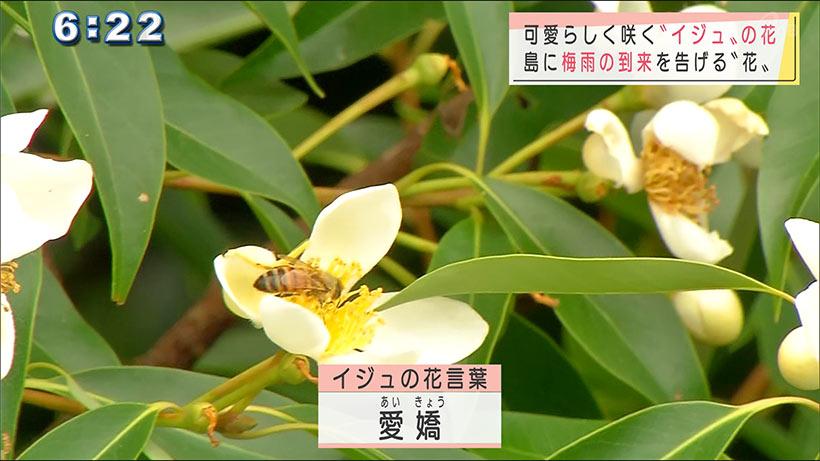 イジュの花が咲く