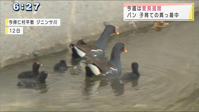 沖縄・今帰仁村の川で野鳥の「バン」の姿