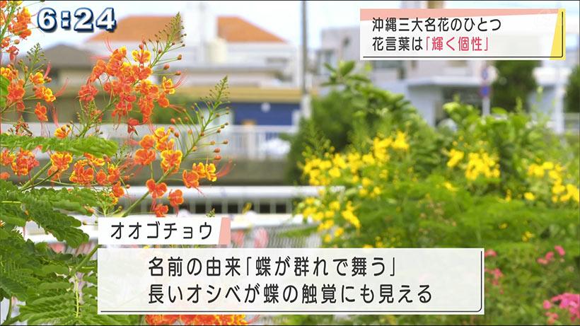 輝く個性の「オオゴチョウ」開花