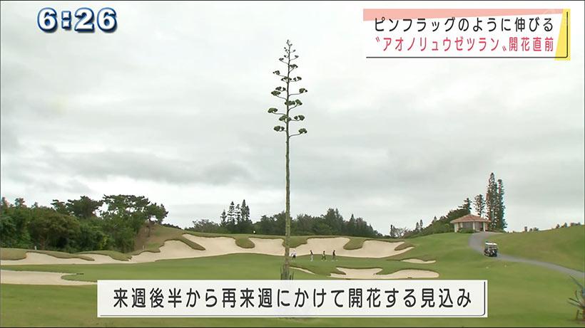 ゴルフ場で幻の花「アオノリュウゼツラン」が開花間近