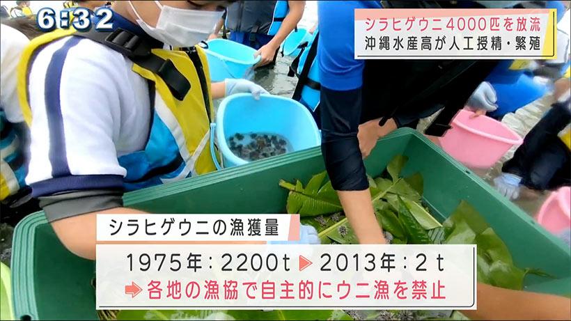 沖縄水産高が人工授精のシラヒゲウニを放流