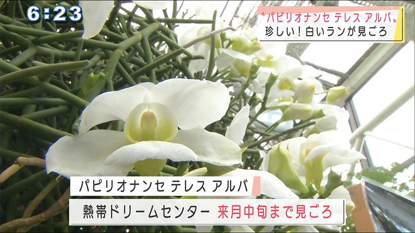 珍しい白いランが咲いてます!