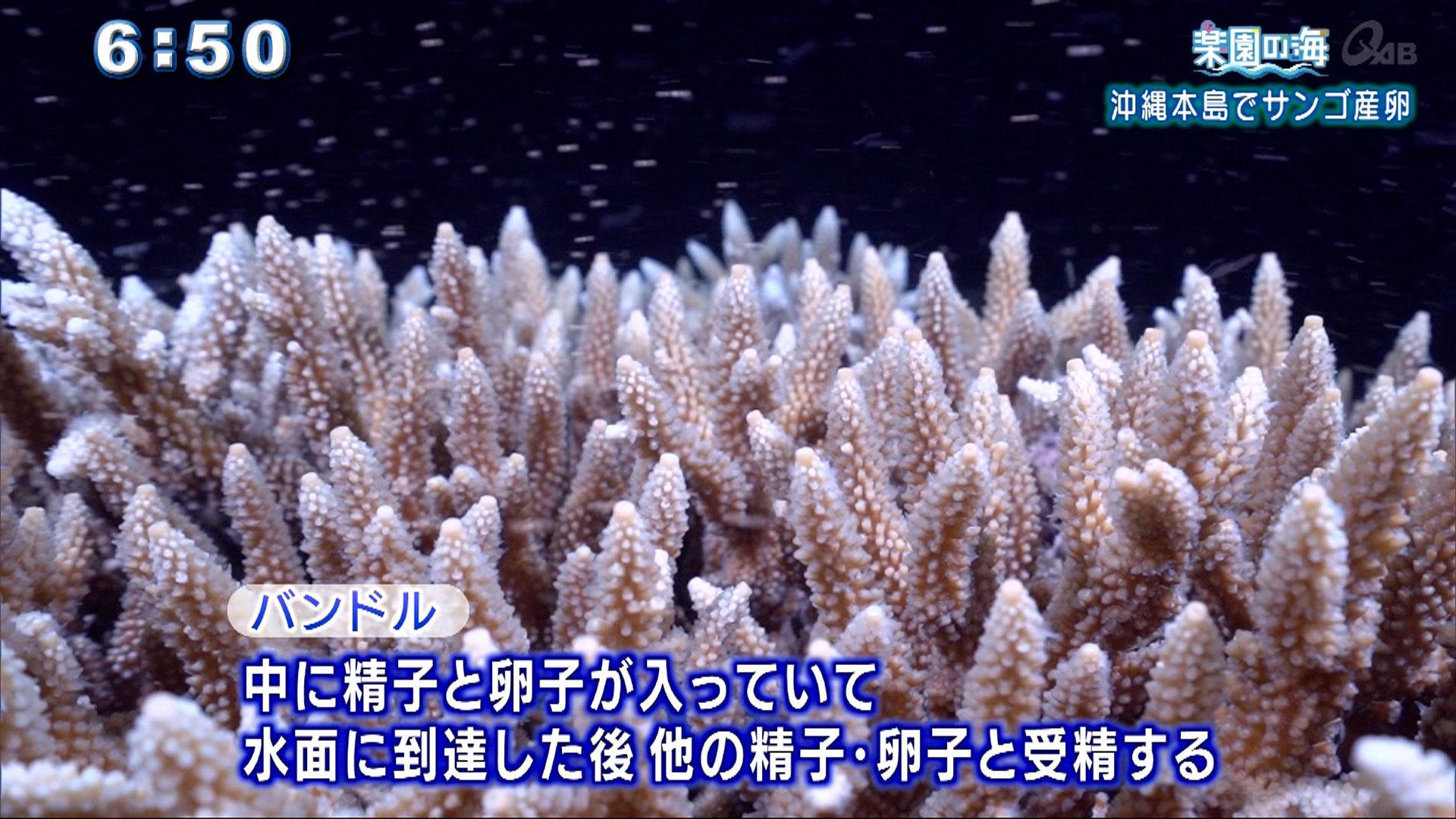 楽園の海 沖縄本島でサンゴ産卵