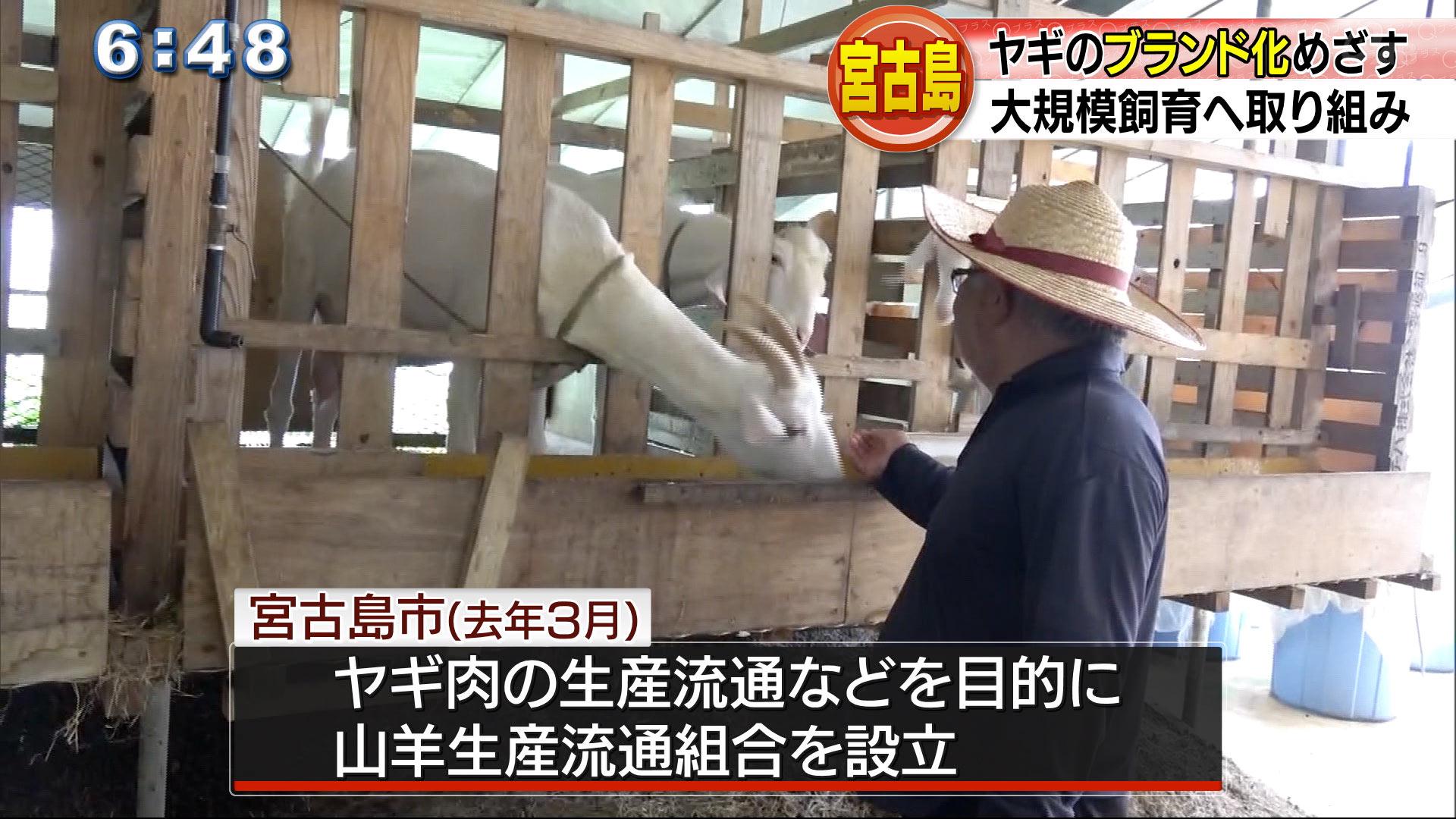 宮古島でヤギのブランド化を目指す