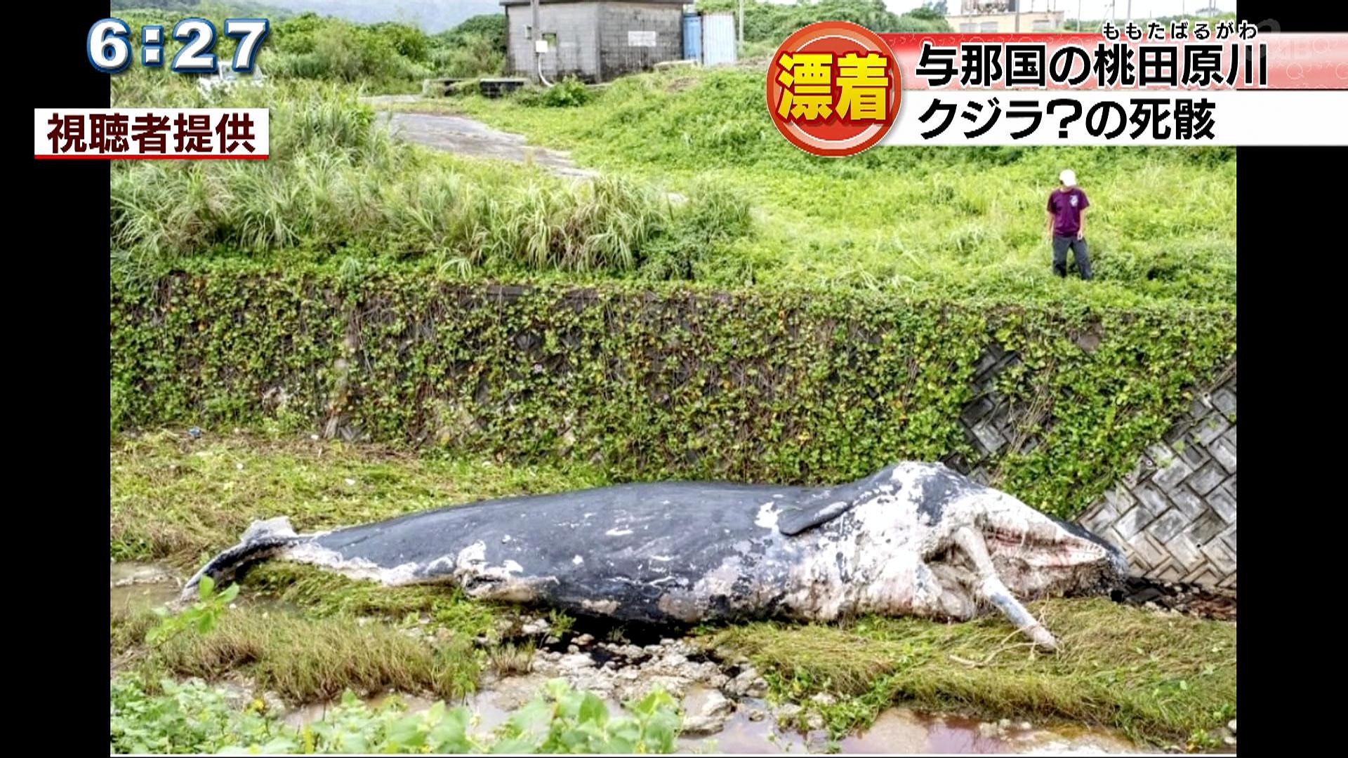 台風の影響?与那国島の川にクジラの死骸?