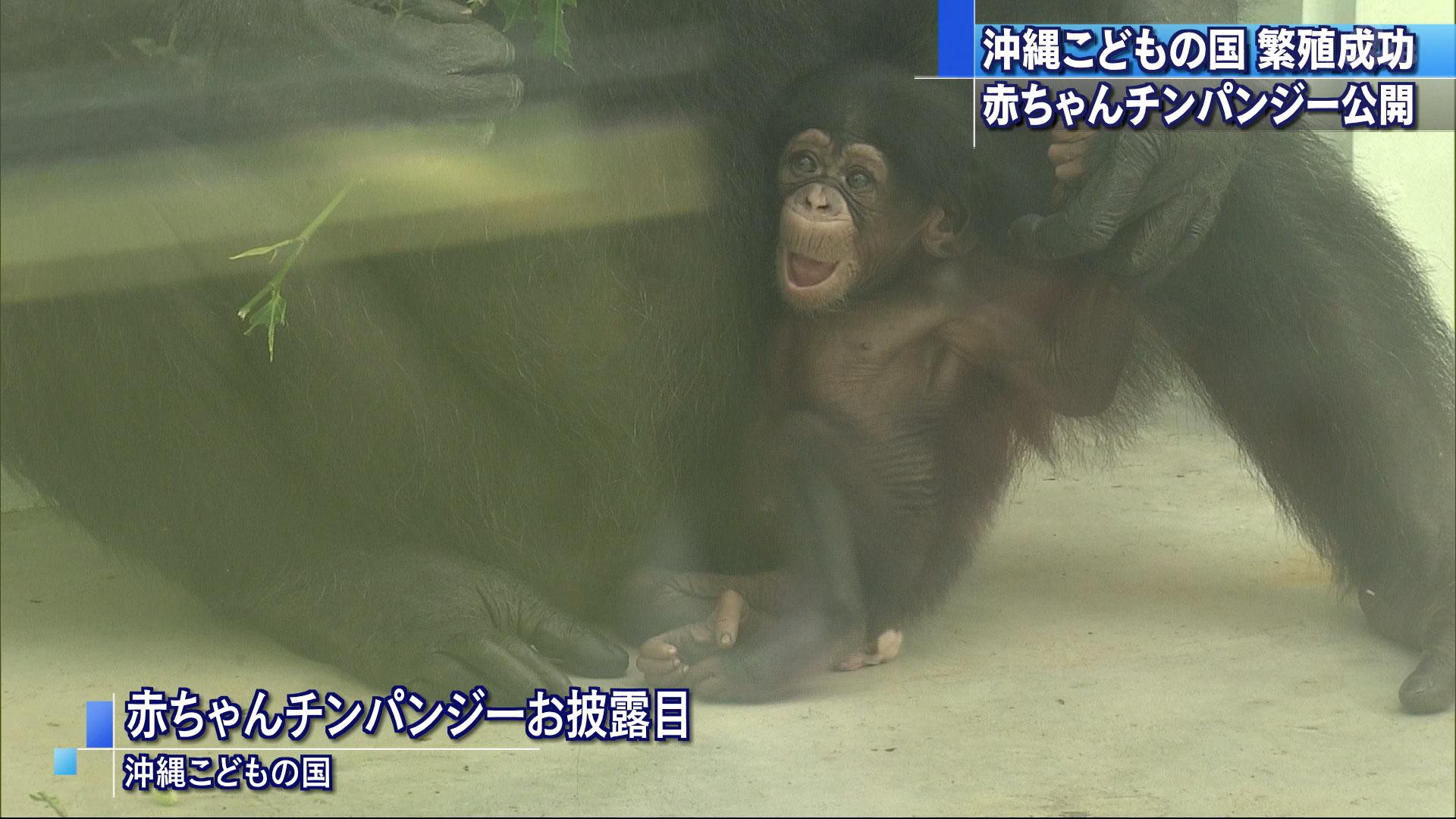 チンパンジーの赤ちゃんお披露目 沖縄こどもの国