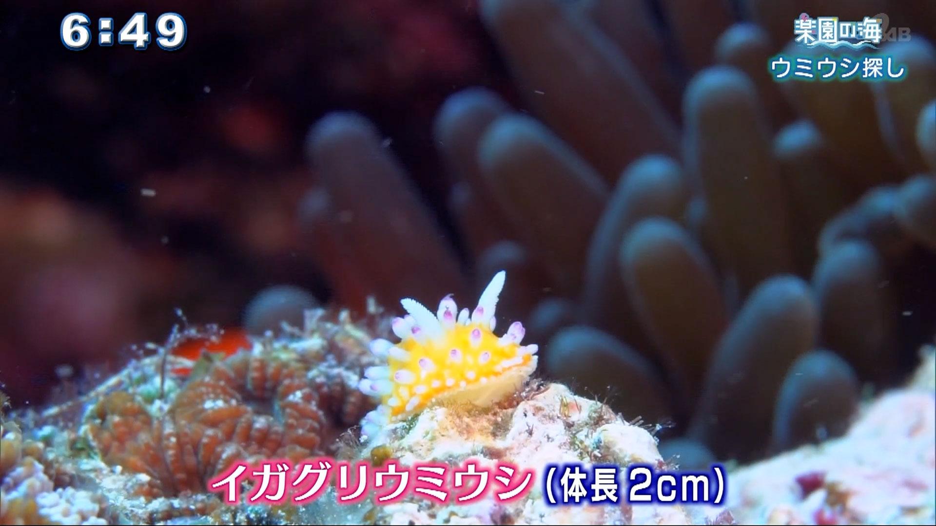 楽園の海 恩納村で海の宝石・ウミウシ探し