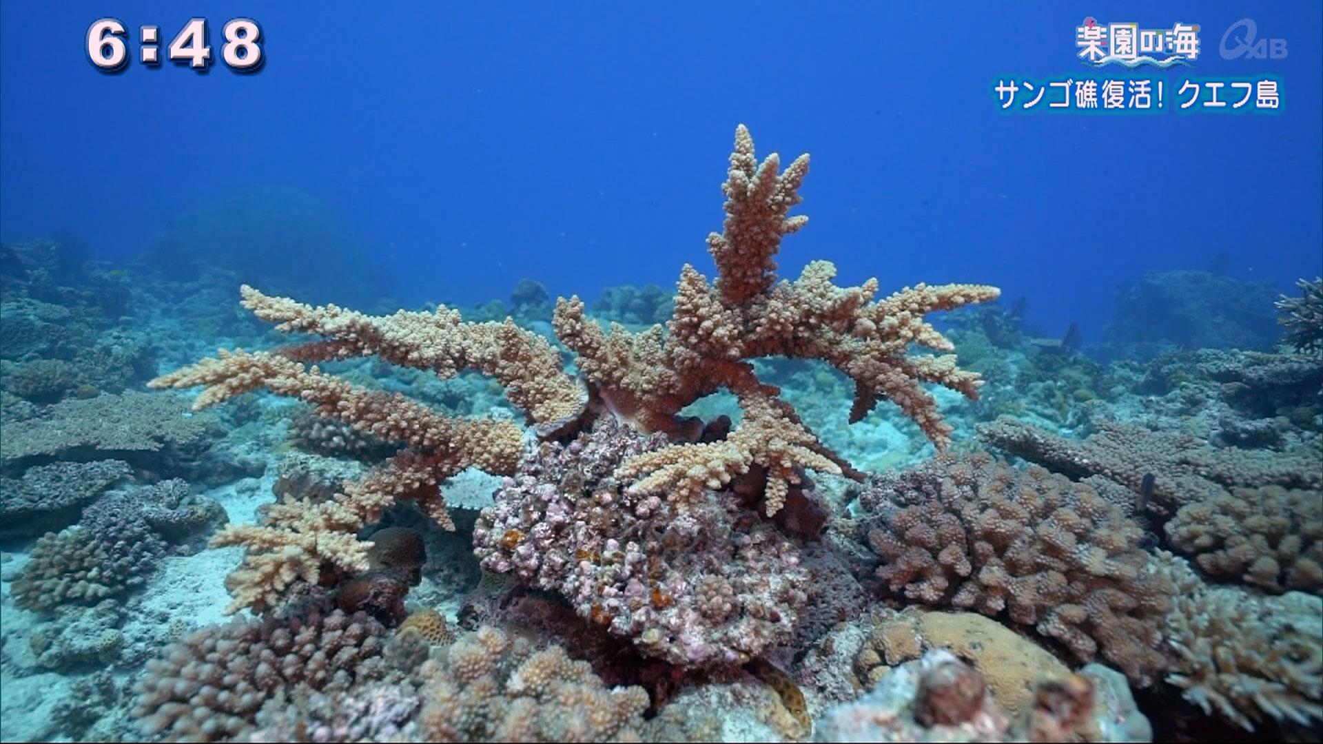楽園の海 サンゴ礁復活!クエフ島