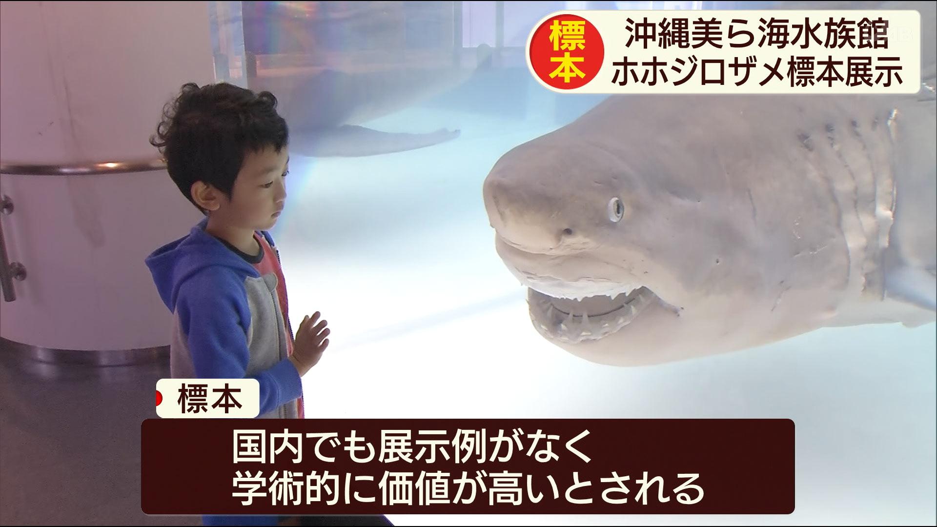 ホホジロザメの成魚の標本が展示開始