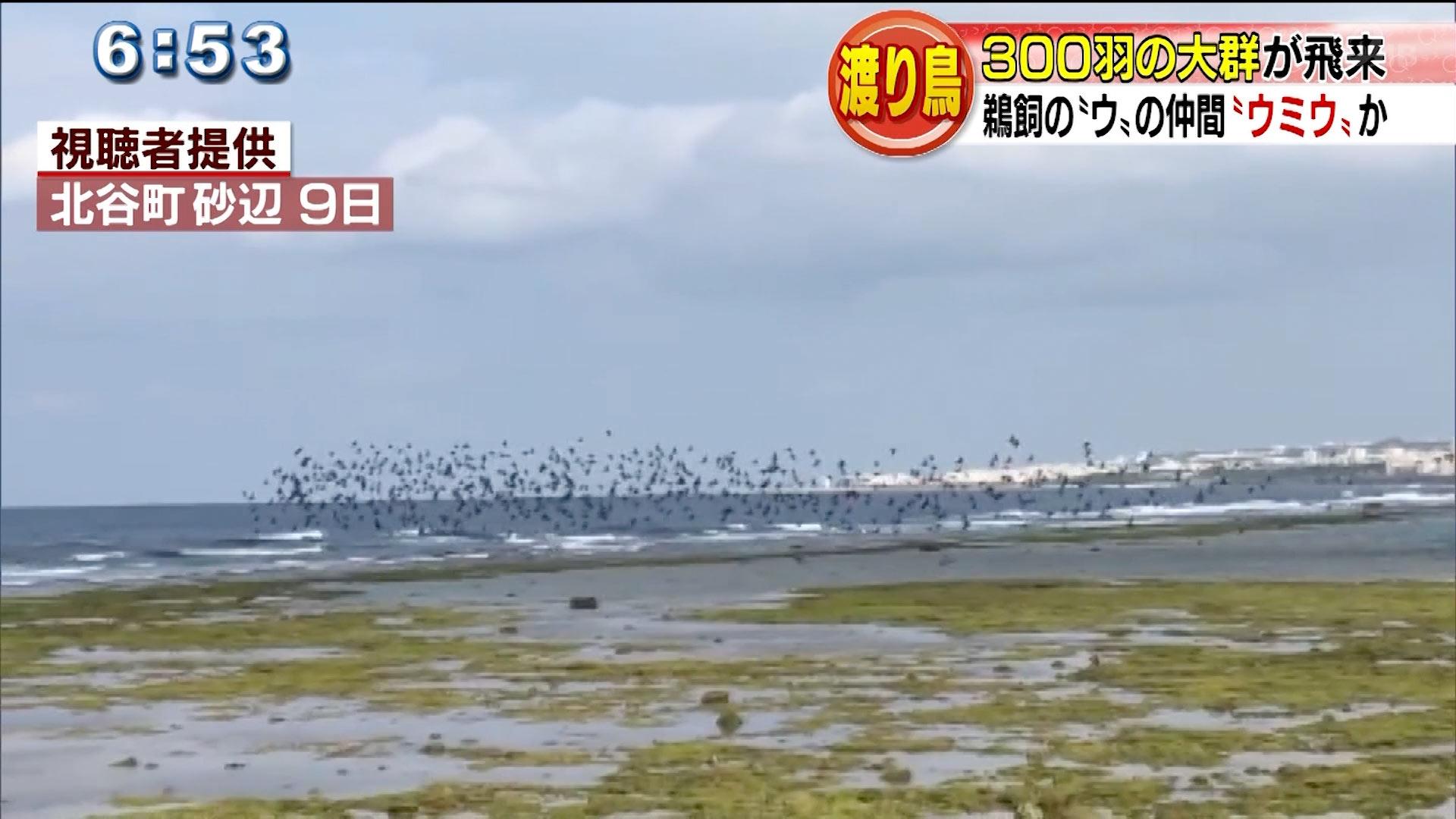 渡り鳥300羽 ウミウか?