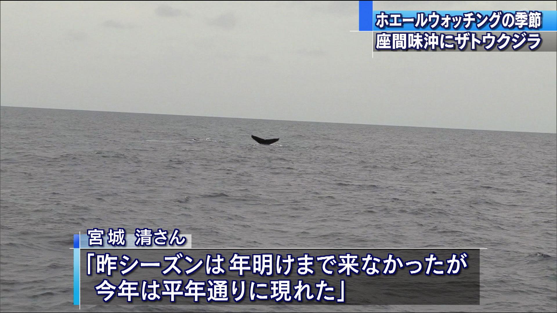 座間味沖でザトウクジラ2頭を確認