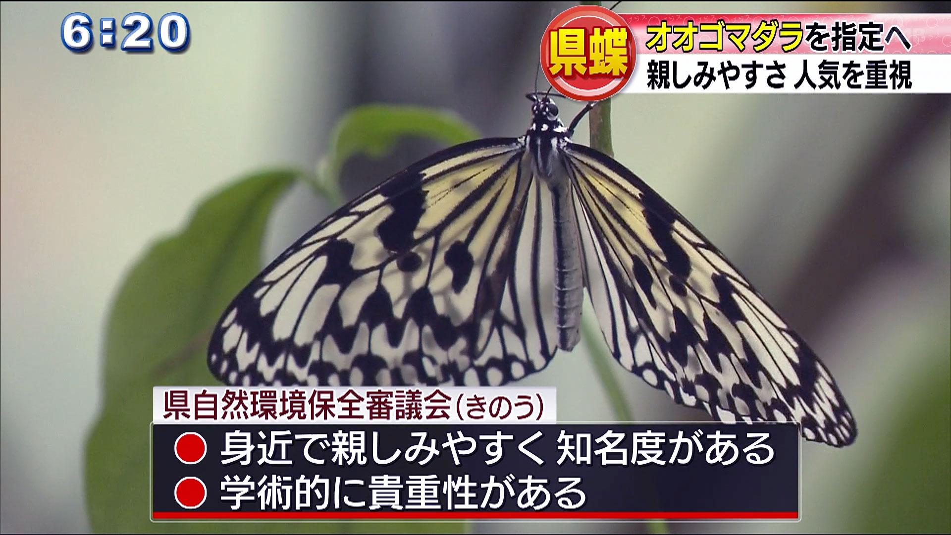 オオゴマダラが県蝶に 全国で2例目