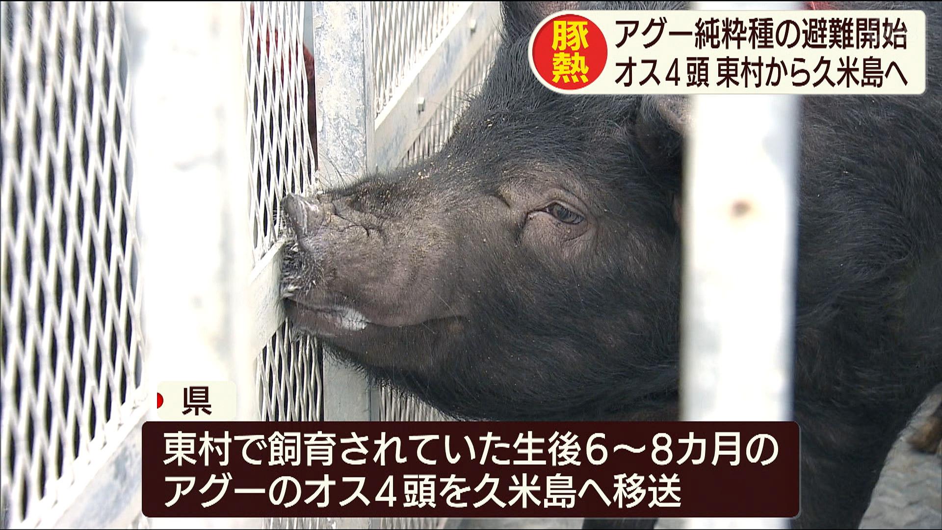 豚熱の感染拡大防止のためアグーを久米島へ移送