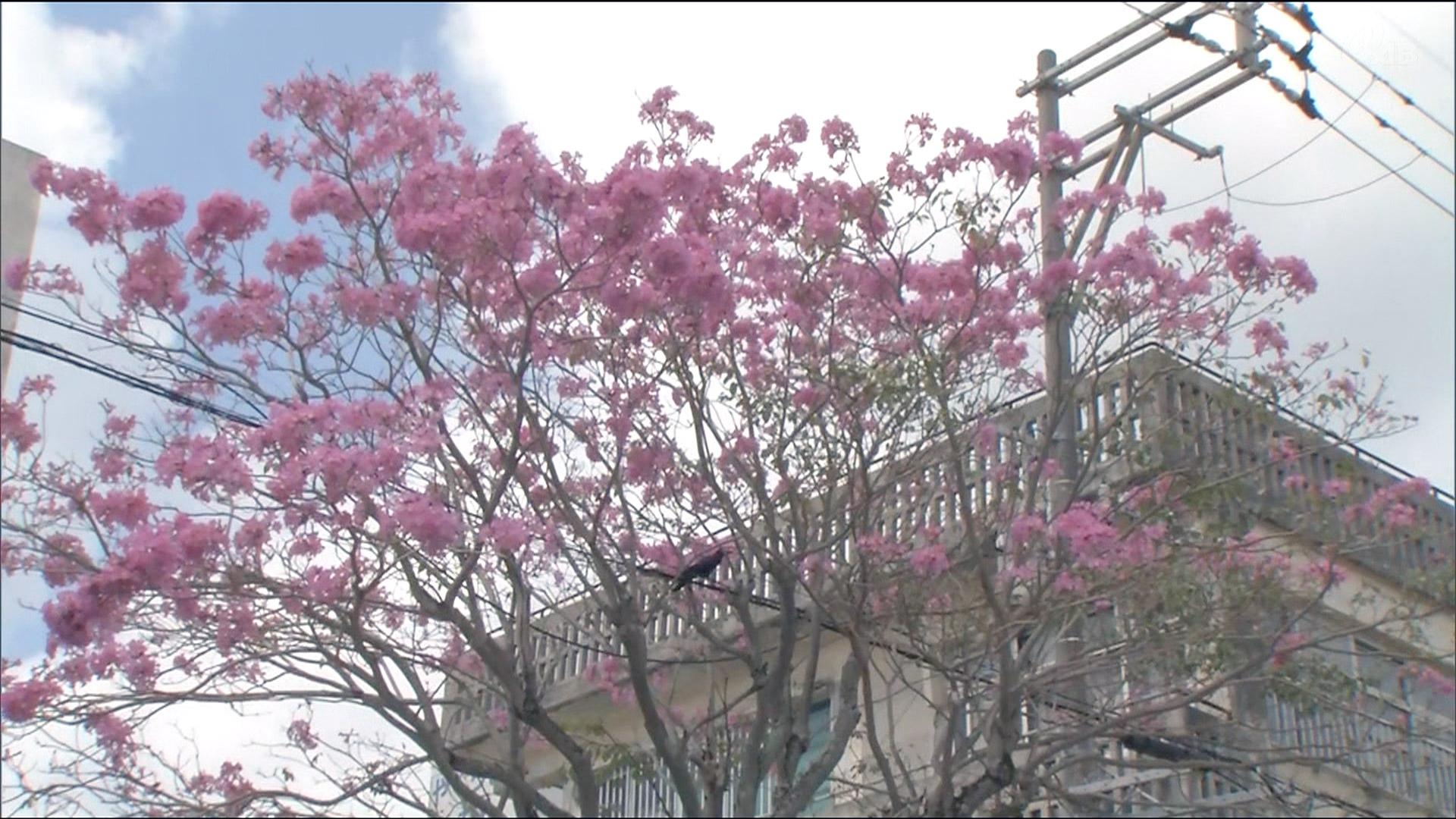 名護の街中にピンクの「イペー」