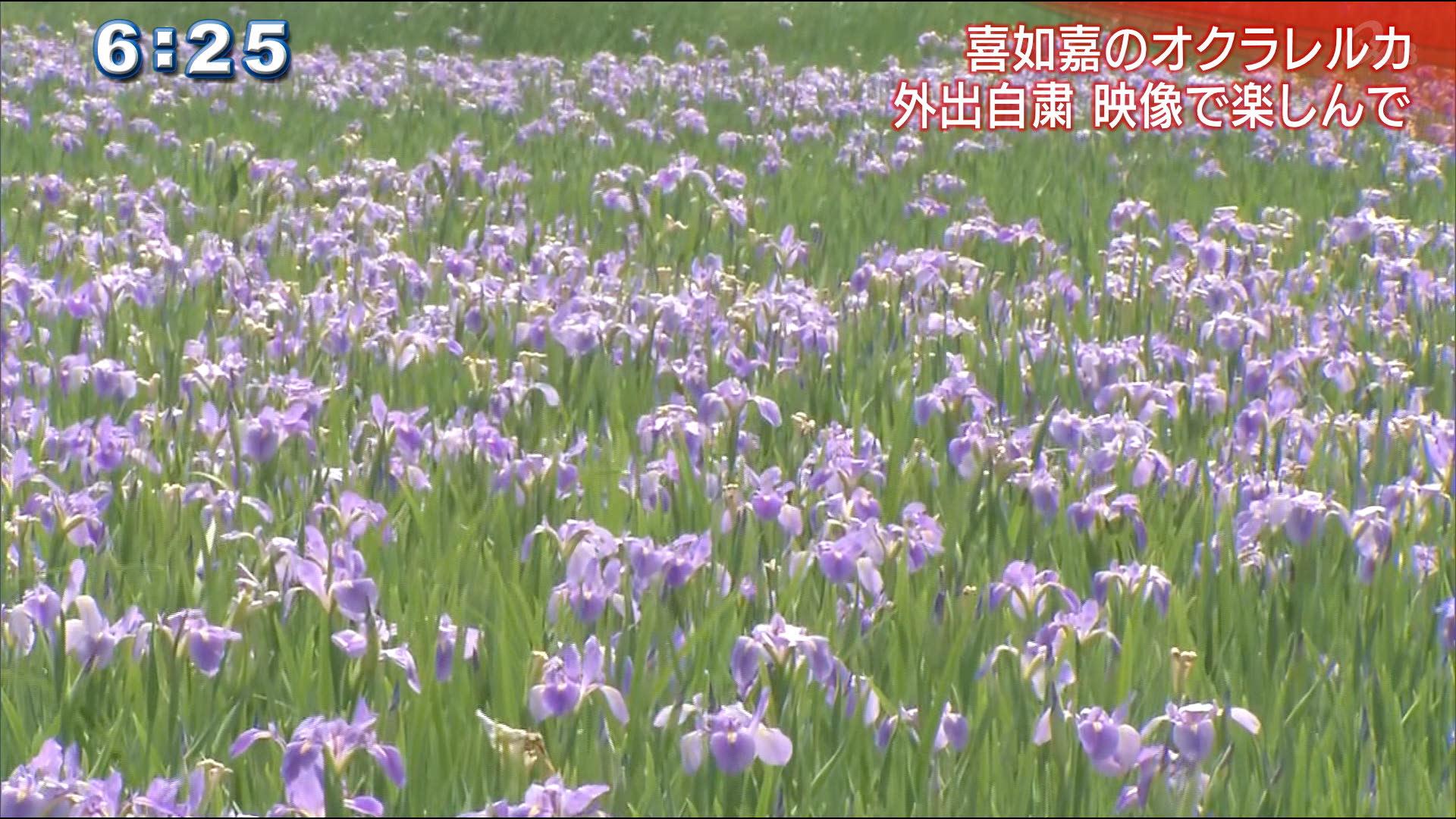 オクラレルカの花咲くも・・週末は自粛要請