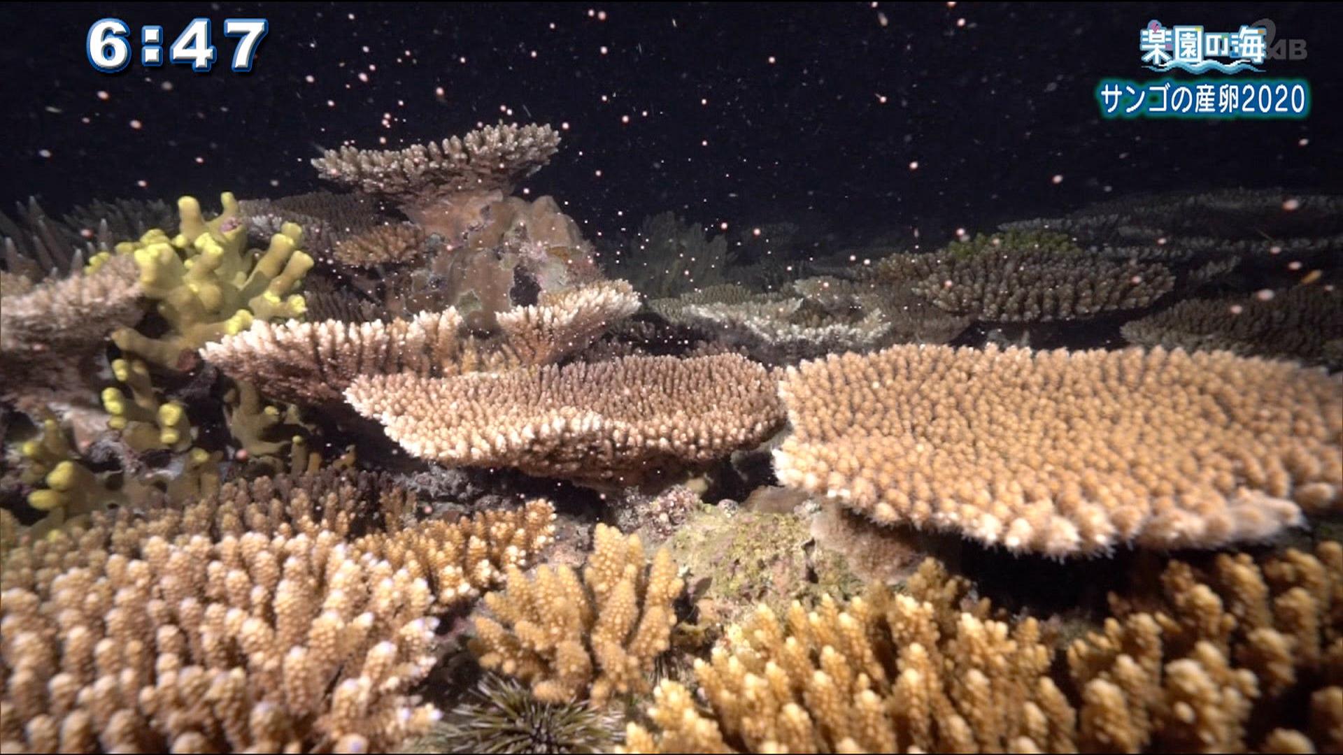 楽園の海 サンゴの産卵2020