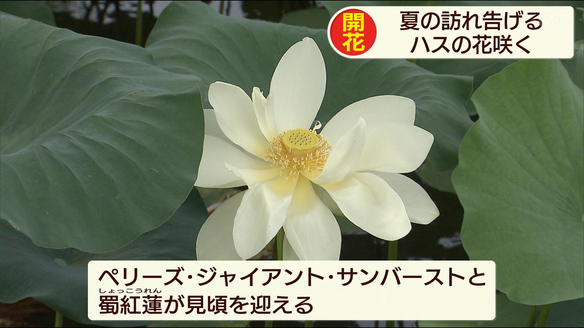 東南植物楽園で蓮・睡蓮が見頃を迎える