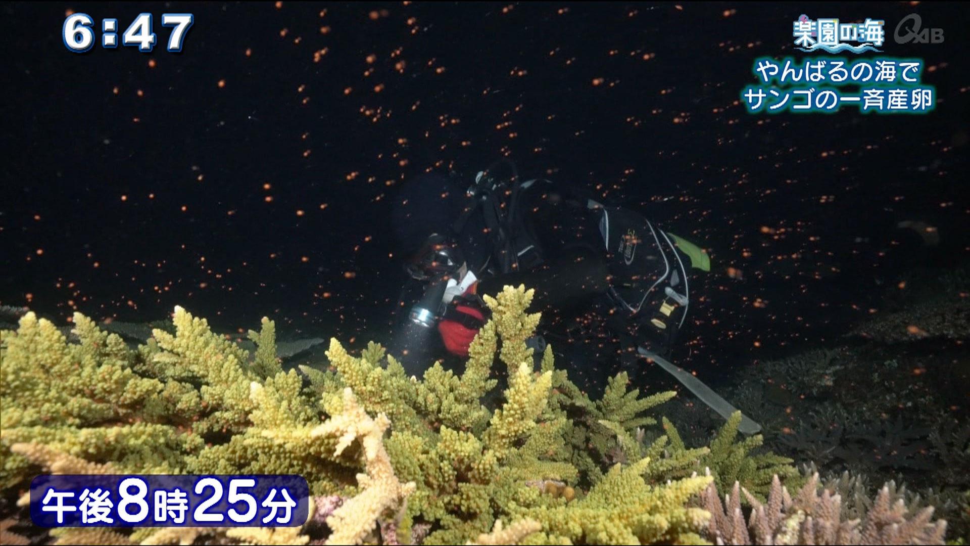 楽園の海 やんばるの海でサンゴの一斉産卵