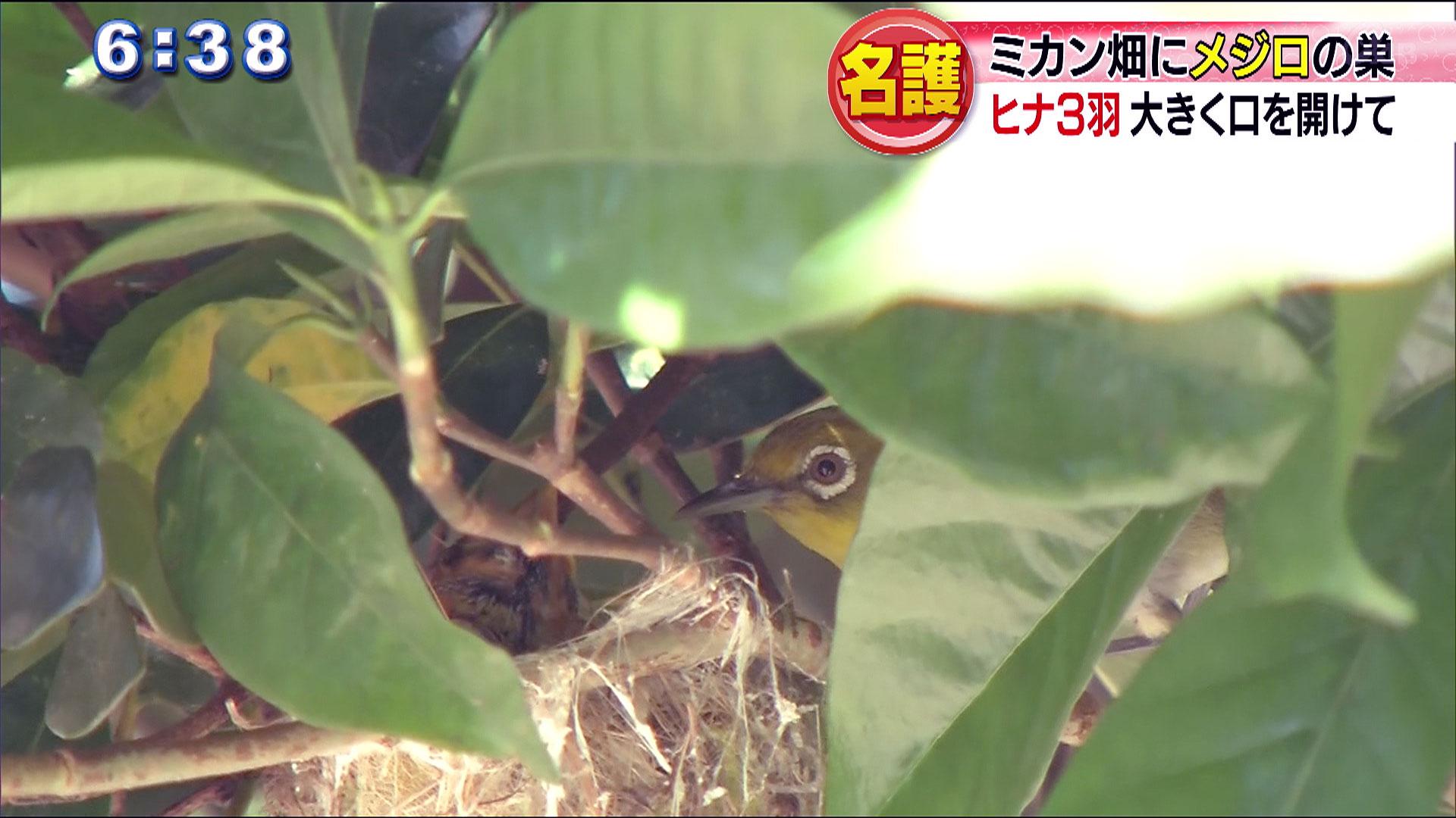 ミカン畑の防風林にメジロの巣