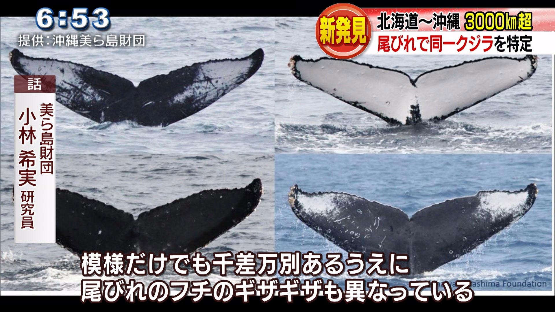 ザトウクジラの回遊ルートで新発見!