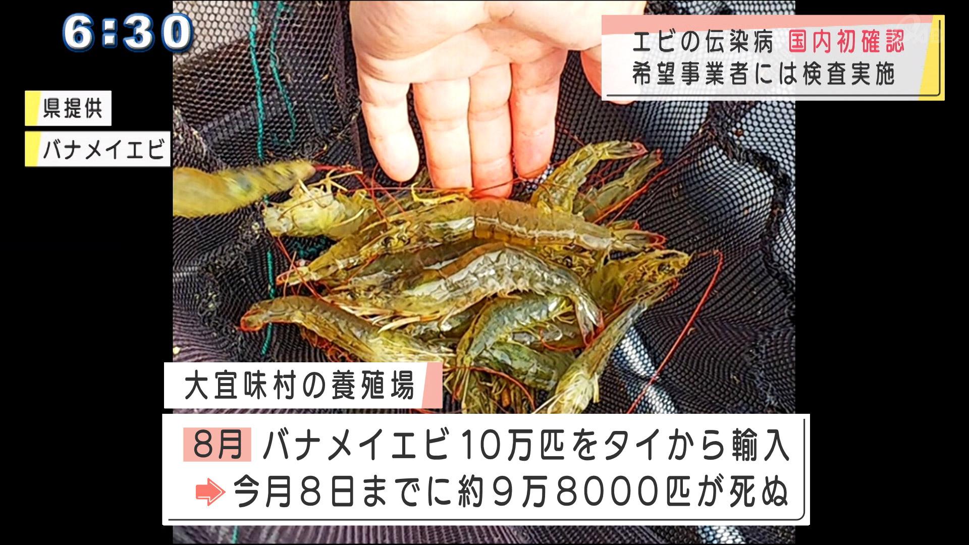 大宜味村のエビ養殖場で国内初の伝染病確認