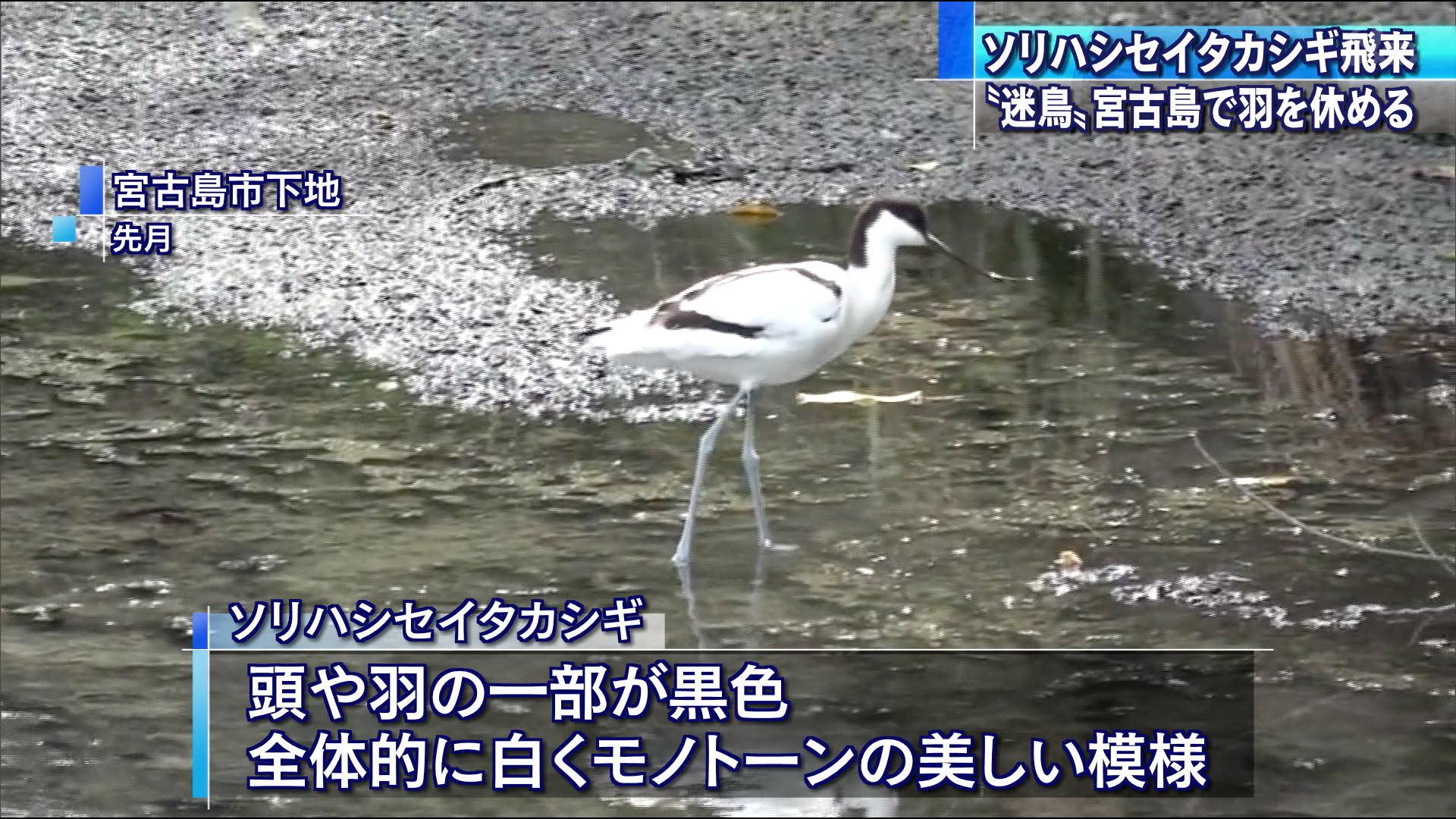 宮古島でソリハシセイタカシギが羽休め