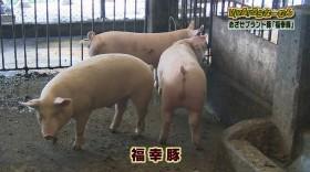 VIVA!うちなーむん めざせブランド豚「福幸豚」