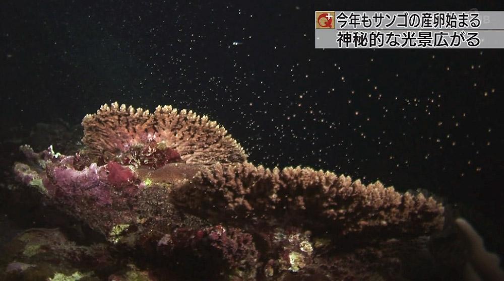 サンゴの産卵始まる