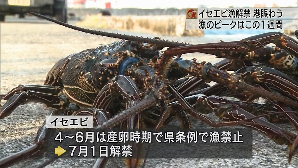 イセエビ漁解禁 県内のイセエビ漁が解禁になり港には活きのよいイセエビが水揚げされました... 琉