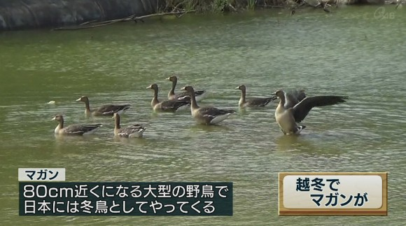 マガン8羽 宮古島に飛来
