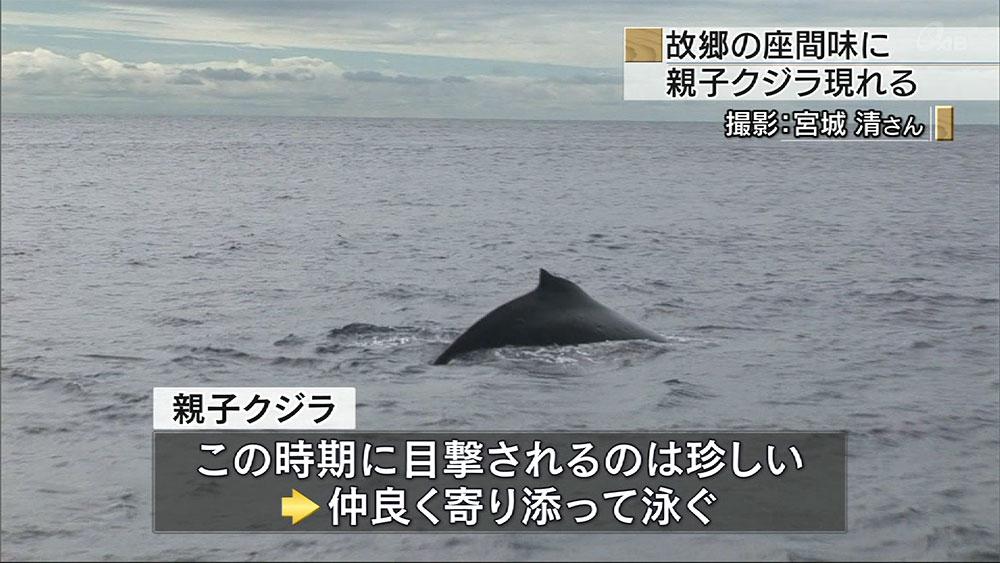 座間味に親子クジラ現る