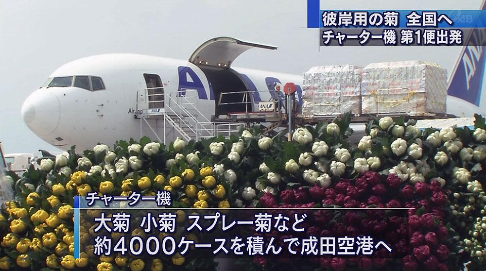彼岸用の菊の花、チャーター機で出荷