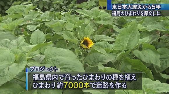 東日本大震災から5年 福島のヒマワリを摩文仁に
