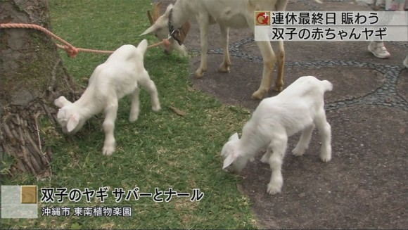 ヤギの双子の赤ちゃん誕生