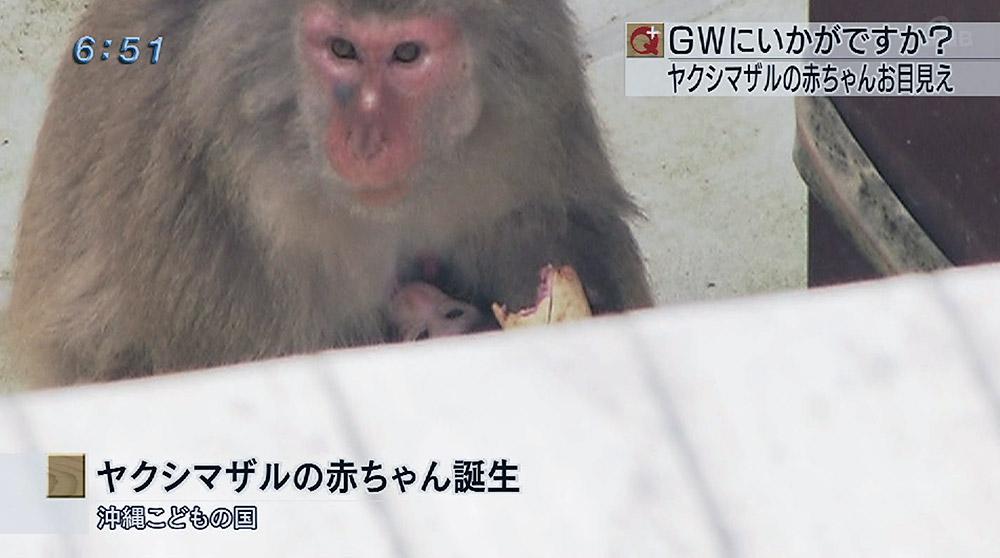 ヤクシマザルの赤ちゃん誕生