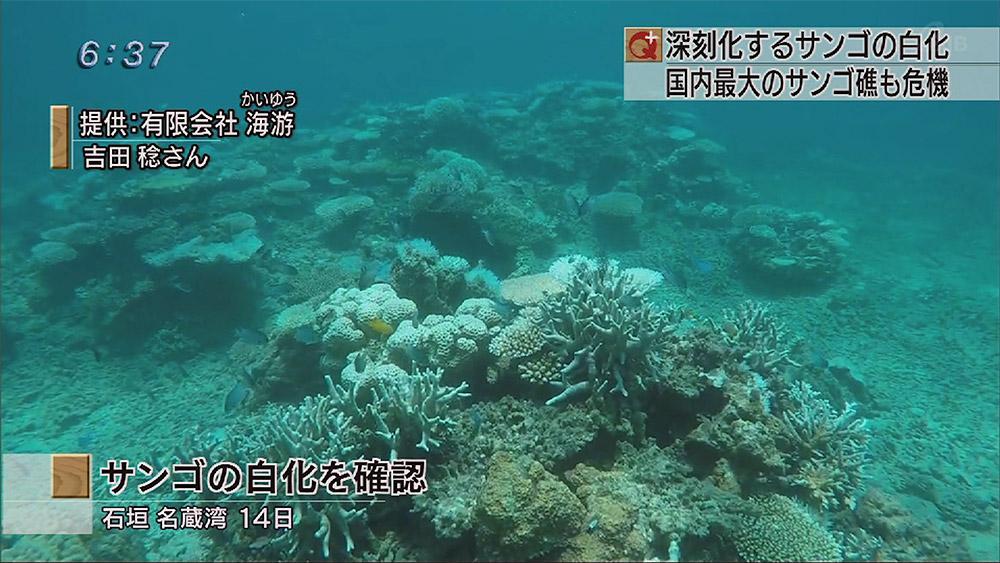 石垣島の海でサンゴの白化現象進む