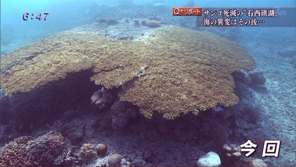 Q+リポート 石西礁湖 大規模白化の海に潜る