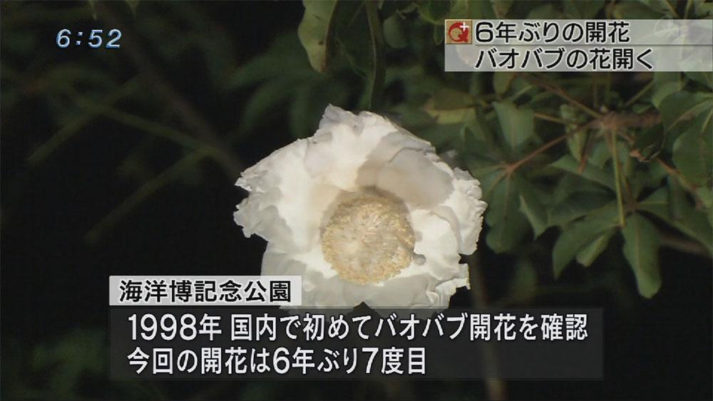 アフリカバオバブ6年ぶりの開花