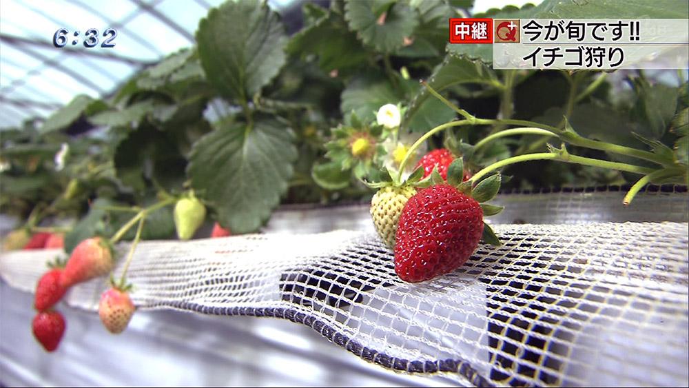 中継 今が旬です イチゴ狩り!!