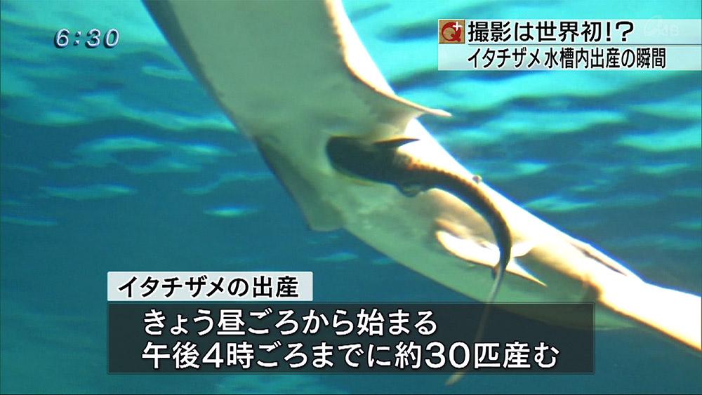 イタチザメの水槽出産を世界初撮影!