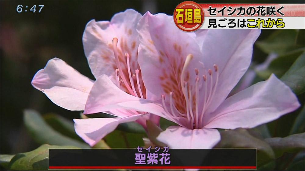石垣島でセイシカの花咲く
