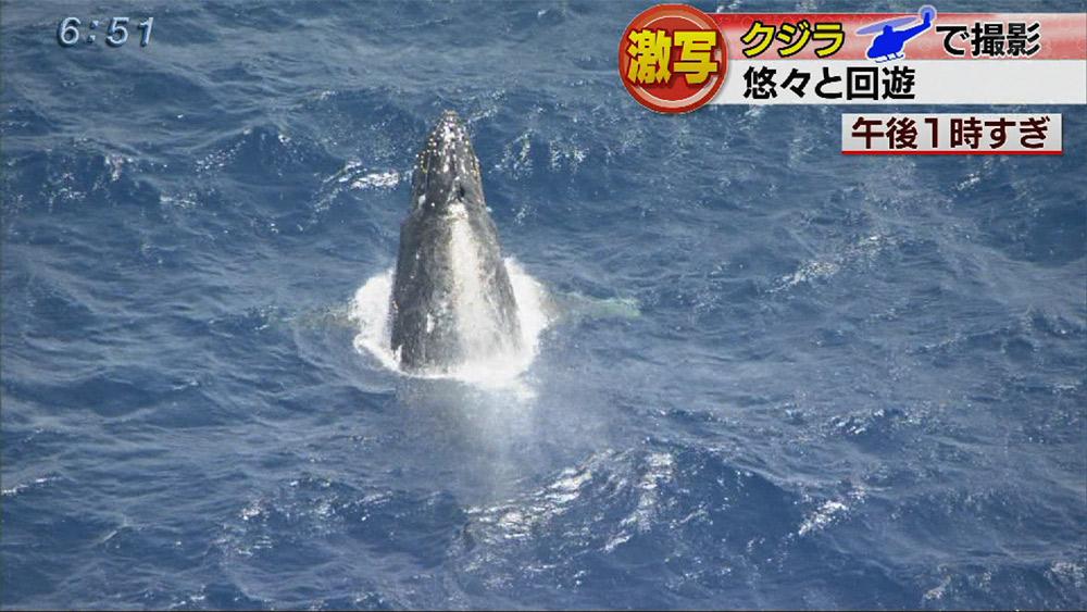 クジラ悠々と回遊