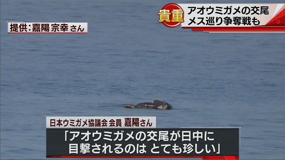 めずらしい アオウミガメの交尾