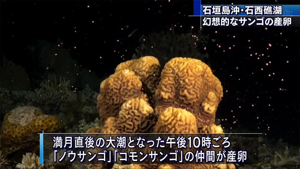 石西礁湖 サンゴの産卵始まる