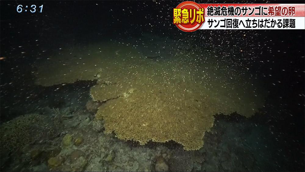 白化乗り越え開いた希望の産卵 サンゴ復活へ課題は