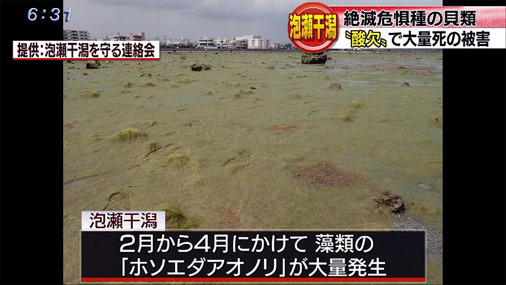 泡瀬干潟 海藻大量発生で絶滅危惧の貝類に被害