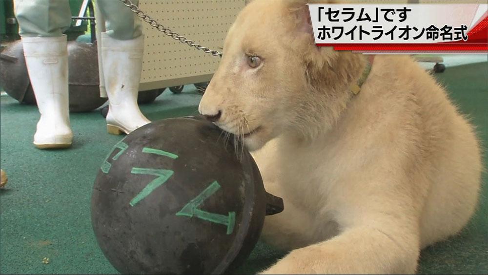 「セラム」です。ホワイトライオン命名式