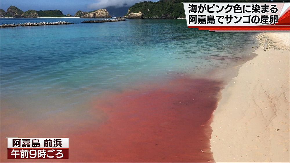 慶良間諸島・阿嘉島でサンゴの産卵