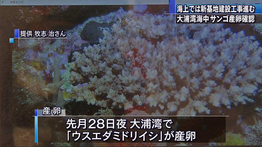 大浦湾でもサンゴ産卵