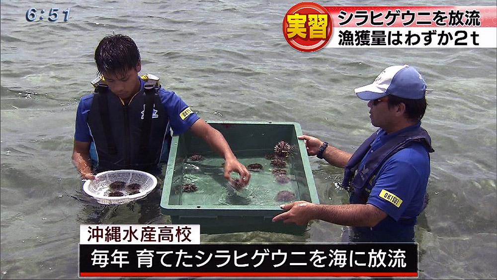 沖縄水産高校 シラヒゲウニの放流
